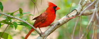 Common Birds in the Chesapeake Region - Cardinal